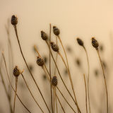 Seed Pods. Dried up wild seed pods at dusk Stock Image
