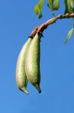 Seed pods. Two pods hanging from a plant againts blue sky Stock Photography
