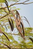 Seed Pods Royalty Free Stock Photography