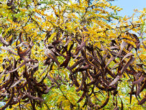Seed pods on acacia tree close up Royalty Free Stock Photos