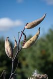 Seed Pods against Blue Sky Royalty Free Stock Photos