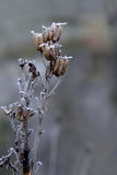 Seed pods covered with hoar frost Stock Images