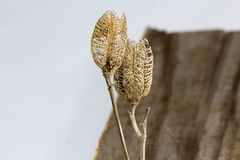 Seed Pods On Old Wood Board Vertical. A dual seed pod set from spring seeding on a weather board shot in studio royalty free stock images