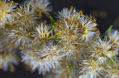 Seed pods of a solidago Stock Image