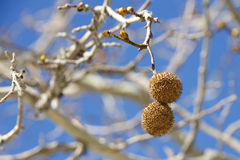 Seed pods for sycamore tree hanging from branch Royalty Free Stock Photos