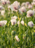 Seed pods of white and purple colored poppies in a field Royalty Free Stock Photos