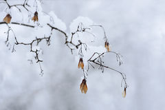 Seed pods in winter Royalty Free Stock Photography