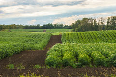 Seed potato fields on rolling hills Royalty Free Stock Images