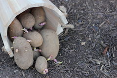 Seed Potatoes Stock Photography