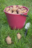 Seed potatoes in a bucket Stock Photo