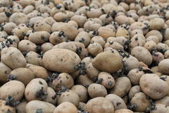 Seed Potatoes. Stock Photo