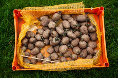 Seed potatoes ready to be planted. Organic, old, seed potatoes in a plastic, orange tray on grass waiting to get put in the ground Stock Image