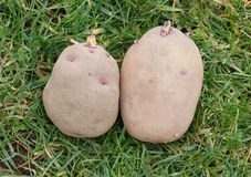 Seed potatoes ready to be planted. Two large chitted seed potatoes waiting to be planted Royalty Free Stock Photography