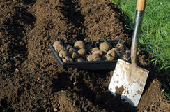 Seed Potatoes ready to plant. Stock Photo