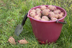 Seed potatoes in a red bucket Stock Photos