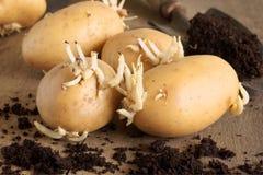 Seed Potatoes Royalty Free Stock Photos