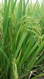 Seed rice and leaf Royalty Free Stock Photo