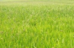 Seed Rice to prepare  harvest Stock Photos