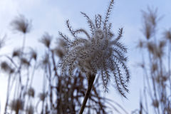 Seed spores reed, details Royalty Free Stock Photo