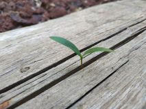Seed sprout grow through the crack in wooden plank. Break through concept overcome problems and difficult situation. Green tree plant gray wood and nobody stock photos