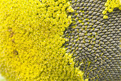 Seed sunflower background Royalty Free Stock Photography