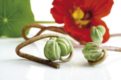 Seed vessels of nasturtium (Tropaeolum majus), close-up Stock Photography