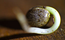 Seed. Of weed germinating, special detail in macro image stock image