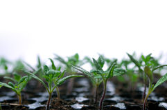 Seedbed. Green Seedbed isolated on a white royalty free stock photos