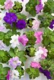 Seedbed del fiore della petunia Fotografia Stock