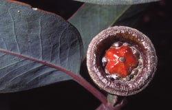 seedbox mallee колокола Стоковые Фото