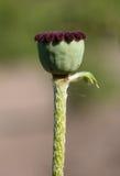 Seedcases der Mohnblume Stockfotos