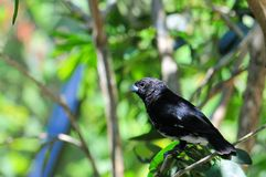 Seedeater Royalty Free Stock Images