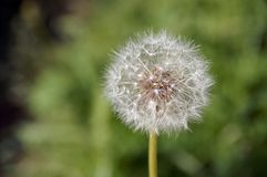 Seeded dandelion clock Royalty Free Stock Photography