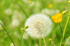 Seeded dandelion head. Close-up of seeded dandelion head and yellow flower in the field Royalty Free Stock Photos