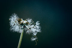 Seeded dandelion head. Close-up of seeded dandelion head, symbol of possibility, hope, and dreams Stock Photography
