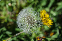 Seeded dandelion head Royalty Free Stock Photos
