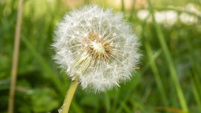 Seeded Dandelion. Shallow Depth of Field Spring Nature Photography Royalty Free Stock Photos