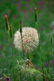 Seedhead желтого Salsify Стоковая Фотография RF