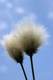 Seedhead d'herbe de coton Image stock