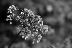 Seedhead de Hogweed Fotografía de archivo libre de regalías