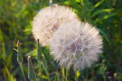 Seedhead della barba della capra su fondo di erba, pratensis del Tragopogon fotografie stock libere da diritti
