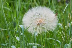 Seedhead of goat`s beard on background of grass, Tragopogon pratensis. stock photos