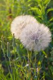 Seedhead of goat`s beard on background of grass, Tragopogon pratensis. royalty free stock image