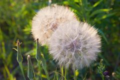 Seedhead of goat`s beard on background of grass, Tragopogon pratensis. royalty free stock photos