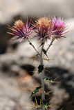 Seedhead of the Milk Thistle, & x28;Silybum marianum& x29; Stock Photo