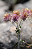 Seedhead of the Milk Thistle, & x28;Silybum marianum& x29; Royalty Free Stock Photo