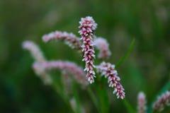 Free Seedhead Of Persicaria Maculosa, Polygonum Persicaria, Lady&x27;s Thumb, Spotted Lady&x27;s Thumb, Redshank Stock Photo - 178579020