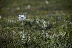 Seedhead vulgaris del odorataPulsatilla blanco de la viola Fotografía de archivo libre de regalías