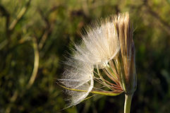Seedhead of yellow salsify Royalty Free Stock Photos