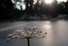 Seedheads givrés et étang congelé, Bedgebury, Kent Images libres de droits